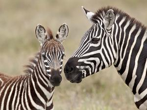 Common Zebra or Burchell's Zebra (Equus Burchelli) Foal and Mare, Serengeti National Park, Tanzania by James Hager