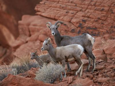 Desert Bighorn Sheep (Ovis Canadensis Nelsoni) Ewe and Two Lambs, Valley of Fire State Park, Nevada by James Hager