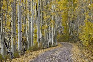 Dirt Road Through Yellow Aspen in the Fall by James Hager