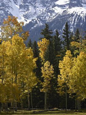 Fall Colors of Aspens with Evergreens, Near Ouray, Colorado by James Hager