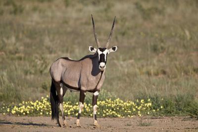 Gemsbok (South African Oryx) (Oryx gazella) buck, Kgalagadi Transfrontier Park, South Africa, Afric