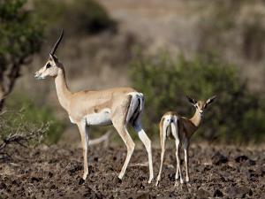 Grant's Gazelle (Gazella Granti) Female and Calf, Samburu National Reserve, Kenya, East Africa by James Hager