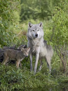 Gray Wolf Adult and Pups, in Captivity, Sandstone, Minnesota, USA by James Hager