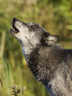 Gray Wolf (Canis Lupus) Howling, in Captivity, Minnesota Wildlife Connection, Minnesota, USA by James Hager