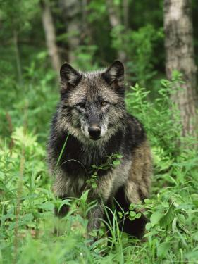 Gray Wolf (Canis Lupus), in Captivity, Sandstone, Minnesota by James Hager