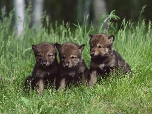 Gray Wolf Pups (Canis Lupus), 27 Days Old, in Captivity, Minnesota, USA by James Hager
