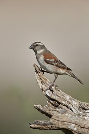 Great sparrow (Passer motitensis), female, Kgalagadi Transfrontier Park, South Africa, Africa by James Hager