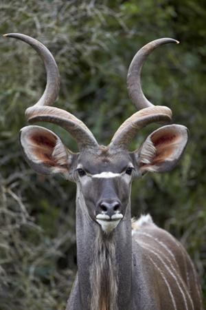 Greater Kudu (Tragelaphus Strepsiceros) Buck, Addo Elephant National Park, South Africa, Africa by James Hager