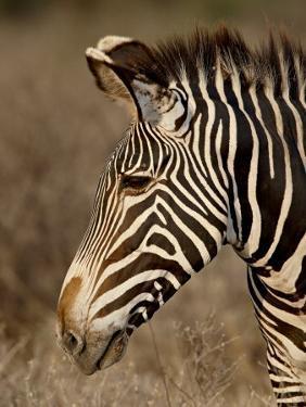Grevy's Zebra (Equus Grevyi), Samburu National Reserve, Kenya, East Africa, Africa by James Hager