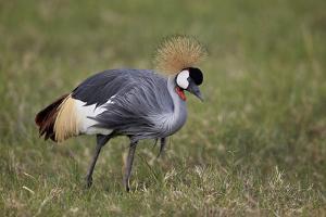 Grey Crowned Crane (Southern Crowned Crane) (Balearica Regulorum) by James Hager