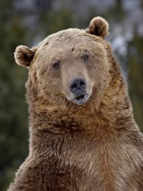 Grizzly Bear (Ursus Arctos Horribilis) in Captivity, Near Bozeman, Montana, USA by James Hager