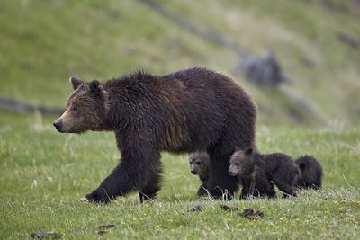 Grizzly Bear (Ursus Arctos Horribilis) Sow and Three Cubs of the Year, Yellowstone National Park