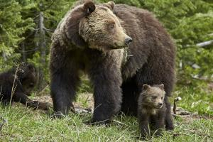Grizzly Bear (Ursus Arctos Horribilis) Sow and Two Cubs of the Year, Yellowstone National Park by James Hager