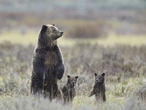 Grizzly Bear (Ursus Arctos Horribilis) Sow and Two Cubs of Year All Standing Up on their Hind Legs by James Hager
