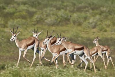 Group of springbok (Antidorcas marsupialis) running, Kgalagadi Transfrontier Park, South Africa, Af by James Hager