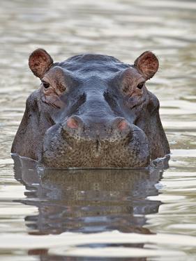 Hippopotamus (Hippopotamus Amphibius), Serengeti National Park, Tanzania, East Africa, Africa by James Hager