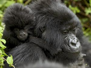 Infant Mountain Gorilla Clinging to Its Mother's Neck, Amahoro a Group, Rwanda, Africa by James Hager