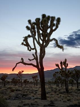Joshua Tree at Sunset, Joshua Tree National Park, California by James Hager
