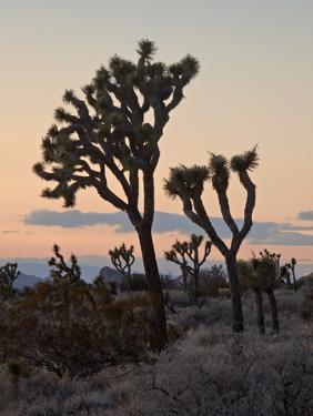 Joshua Trees at Sunset, Joshua Tree National Park, California by James Hager