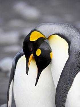 King Penguin Pair Pre-Mating Behaviour, Salisbury Plain, South Georgia by James Hager