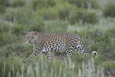Leopard (Panthera pardus), male, Kgalagadi Transfrontier Park, South Africa, Africa