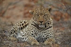 Leopard (Panthera pardus), male, Kruger National Park, South Africa, Africa by James Hager