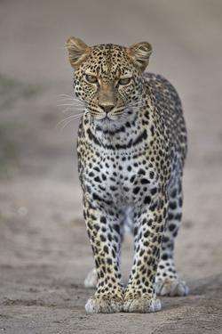 Leopard (Panthera Pardus), Ngorongoro Conservation Area, Serengeti, Tanzania, East Africa, Africa by James Hager