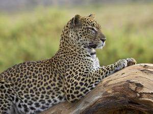 Leopard (Panthera Pardus), Samburu National Reserve, Kenya, East Africa, Africa by James Hager