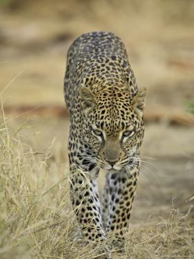 Leopard Walking Straight Towards the Camera, Samburu National Reserve, Kenya, East Africa, Africa by James Hager