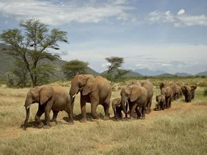 Line of African Elephants (Loxodonta Africana), Samburu National Reserve, Kenya, East Africa by James Hager