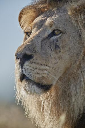 Lion (Panthera leo), Kgalagadi Transfrontier Park, South Africa, Africa by James Hager