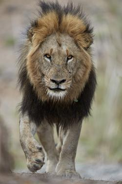 Lion (Panthera leo), Kruger National Park, South Africa, Africa by James Hager