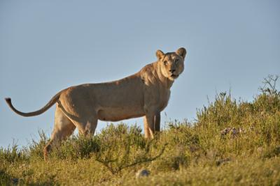 Lioness (Lion, Panthera leo), Kgalagadi Transfrontier Park, South Africa, Africa