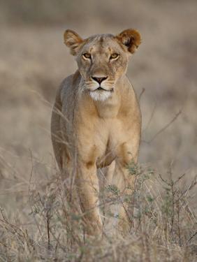 Lioness, Samburu National Reserve, Kenya, East Africa, Africa by James Hager