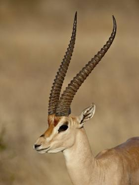 Male Grant's Gazelle, Samburu National Reserve, Kenya, East Africa, Africa by James Hager