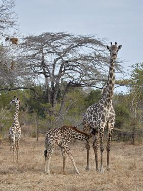 Masai giraffe (Giraffa camelopardalis tippelskirchi) nursing, Selous Game Reserve, Tanzania, East A by James Hager