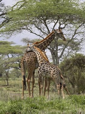 Masai Giraffe Mother and Young, Serengeti National Park, Tanzania, Africa by James Hager