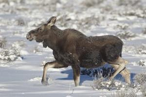 Moose (Alces Alces) Calf on a Winter Morning by James Hager
