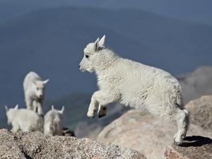 Mountain Goat Kid Jumping, Mt Evans, Arapaho-Roosevelt Nat'l Forest, Colorado, USA by James Hager