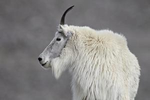 Mountain Goat (Oreamnos Americanus), Mount Evans, Arapaho-Roosevelt National Forest, Colorado, USA by James Hager