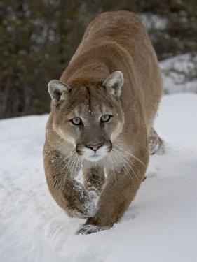 Mountain Lion (Cougar) (Felis Concolor) in Snow in Captivity, Near Bozeman, Montana by James Hager