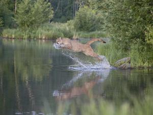 Mountain Lion or Cougar Jumping into the Water, in Captivity, Sandstone, Minnesota, USA by James Hager