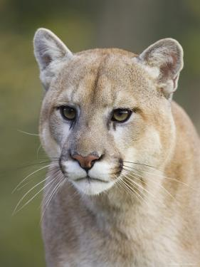 Mountain Lion Staring, in Captivity, Minnesota Wildlife Connection, Minnesota, USA by James Hager