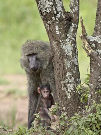 Olive Baboon Mother and Infant, Serengeti National Park, Tanzania by James Hager