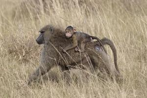 Olive Baboon (Papio Cynocephalus Anubis) Infant Riding by James Hager