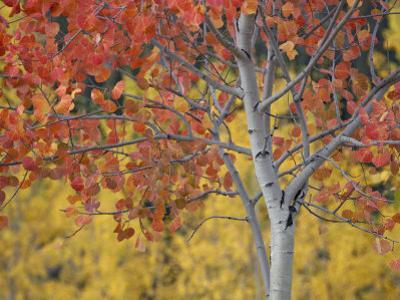 Orange and Yellow Aspen Leaves, White River National Forest, Colorado, United States of America by James Hager