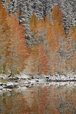 Orange Aspens in the Fall Among Evergreens Covered with Snow at a Lake by James Hager
