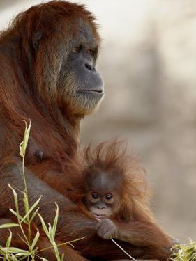 Orangutan Mother and 6-Month Old Baby in Captivity, Rio Grande Zoo by James Hager