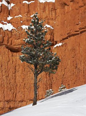Pine Tree in Front of Red-Rock Face with Snow on the Ground, Dixie National Forest, North America by James Hager