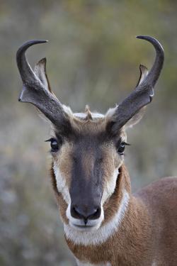 Pronghorn (Antilocapra Americana) Buck by James Hager